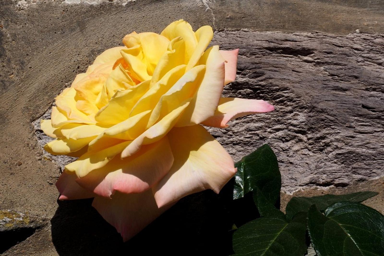 22-Rose jaune